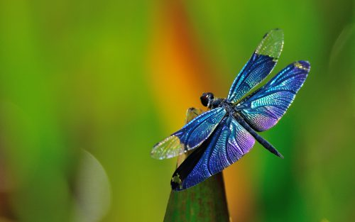 dragonfly-pictures-18